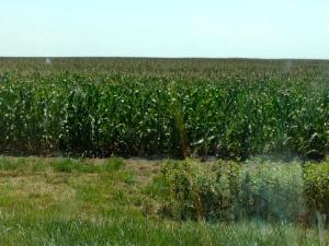 Among the cornfields.